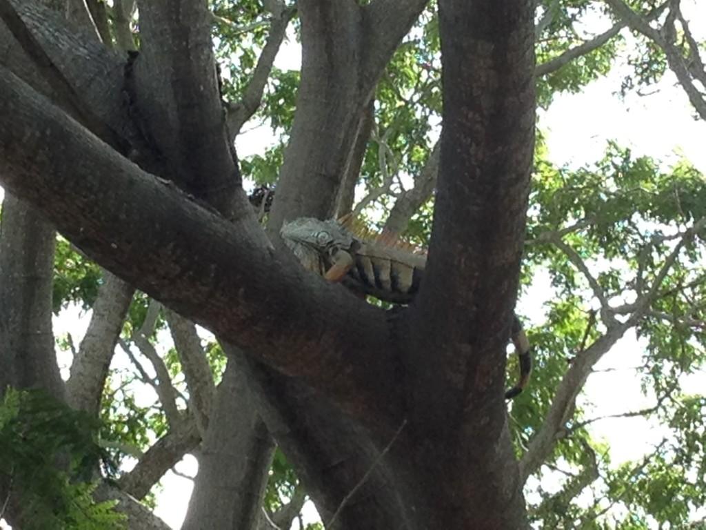 Peligro - Beware Falling Iguanas!