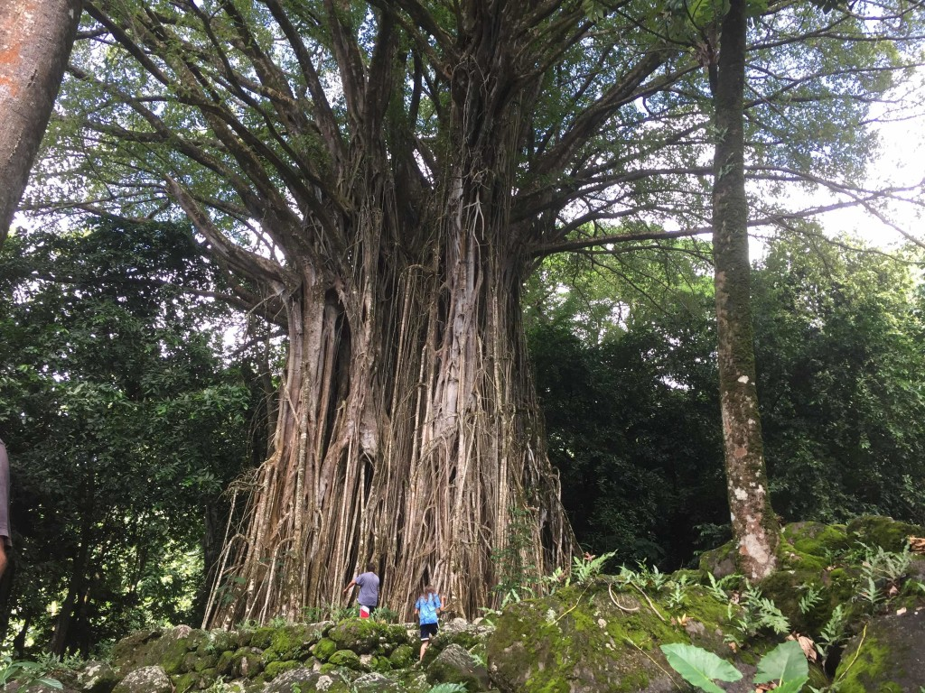 Giant Banyan - Perhaps 50 feet across at the base