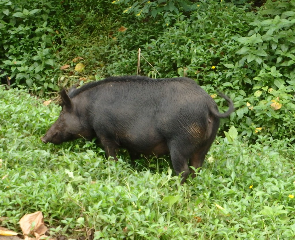 Running Wild - One of many wild pigs roaming in the Marquesas