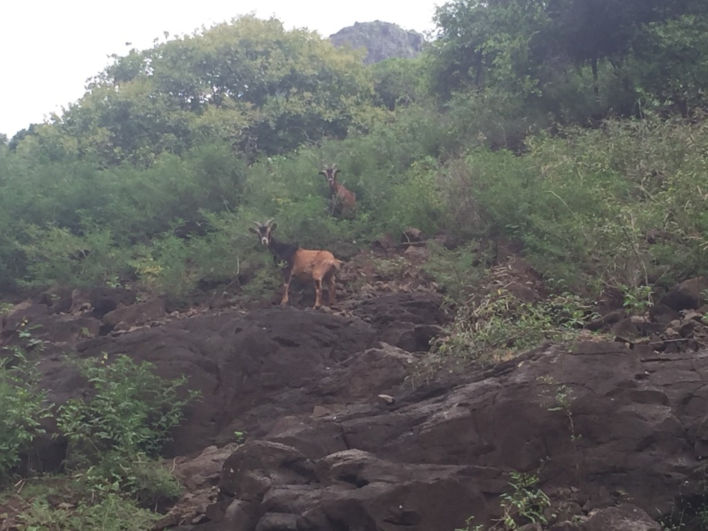 Wild Goats - They apparently require an amazing view