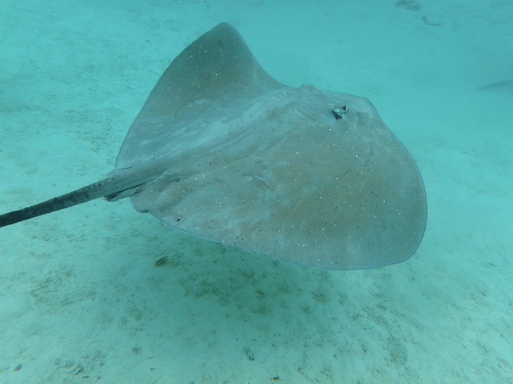 Stingray - These almost tame stingrays will let you touch them