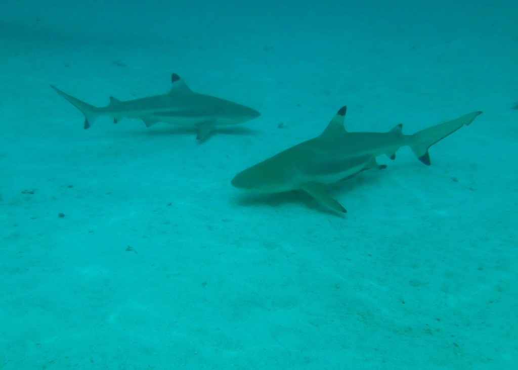 Black Tip Reef Sharks - We're very used to swimming with them now