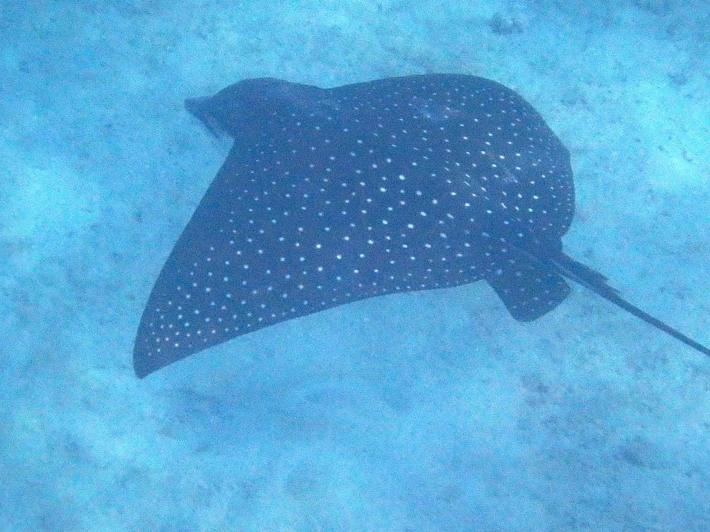 Spotted Eagle Ray - Swimming beneath the boat in about 25 ft depth
