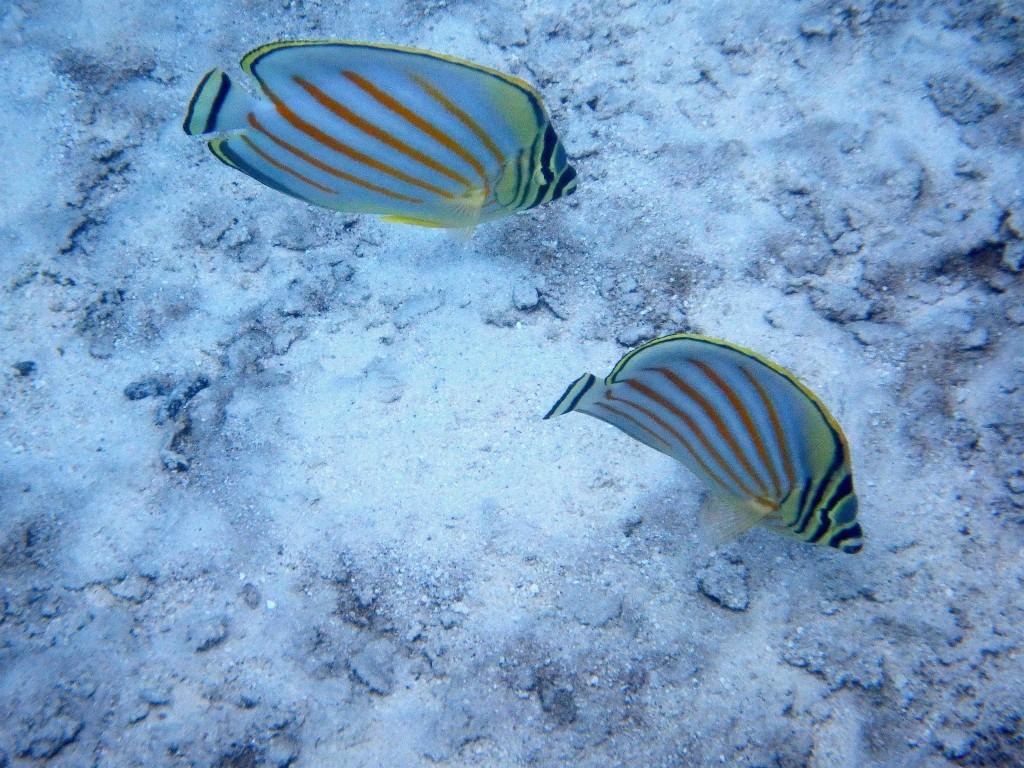 Reef Fish Series VI - Good looking pair