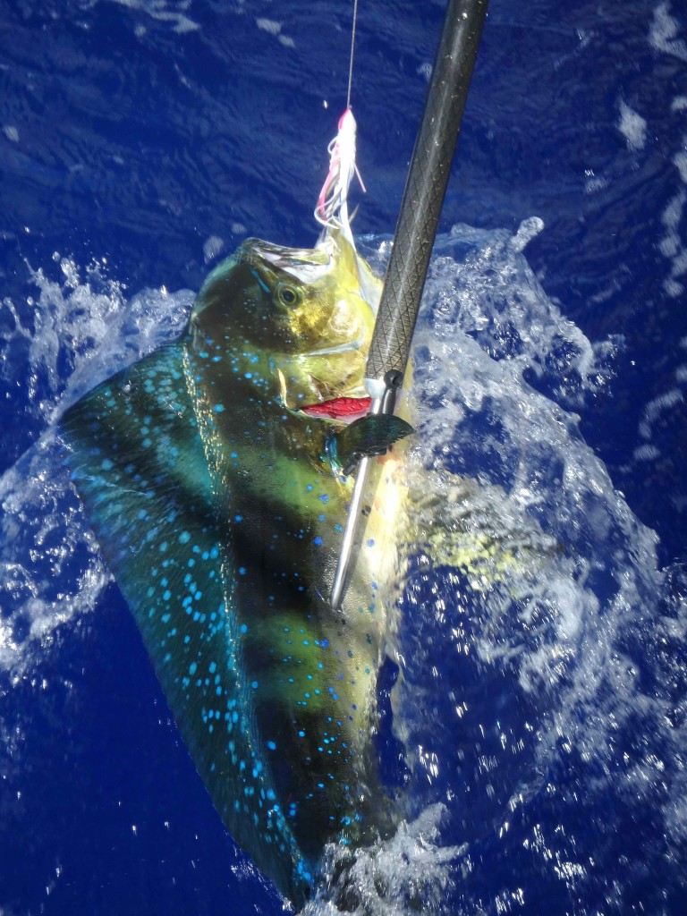Mahi Mahi - Caught on passage