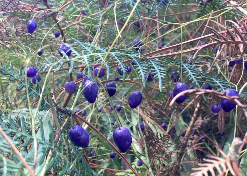 Cool Blues - I'll leave identification of this to someone more horticulturally inclined