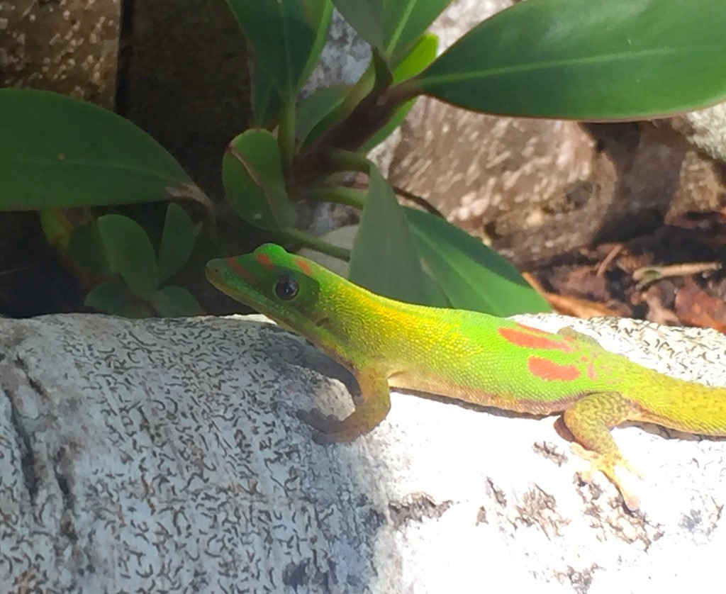 Green Gecko - A gorgeous green gecko attempts to blend into his Hawaiian surroundings